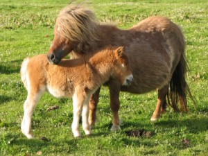 Shetland Ponies In Uyeasound