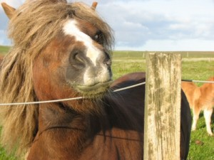 Shetland Pony In Uyeasound