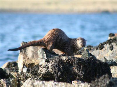 An Otter In Baltasound