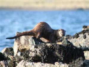 An Otter In Baltasound