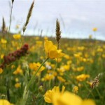 Haroldswick Meadow