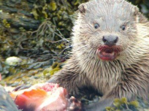 An Otter At The Westing